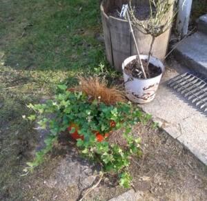 Maakellarissa talvehtinut muratti näytti elinvoimaiselta.