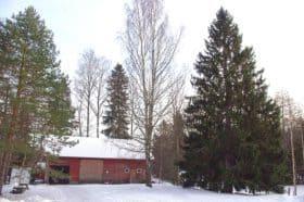 Mäntlahdessa koulua ei enää ole, mutta kuusi seisoo yhä komeana vanhan ulkorakennuksen edustalla.Valok. Ilkka Ahmavaara.