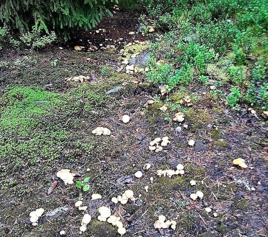 Kanttarelleja suon laidalla elokuussa, kun suo oli vielä kuiva. Kuva Tarja Porkka