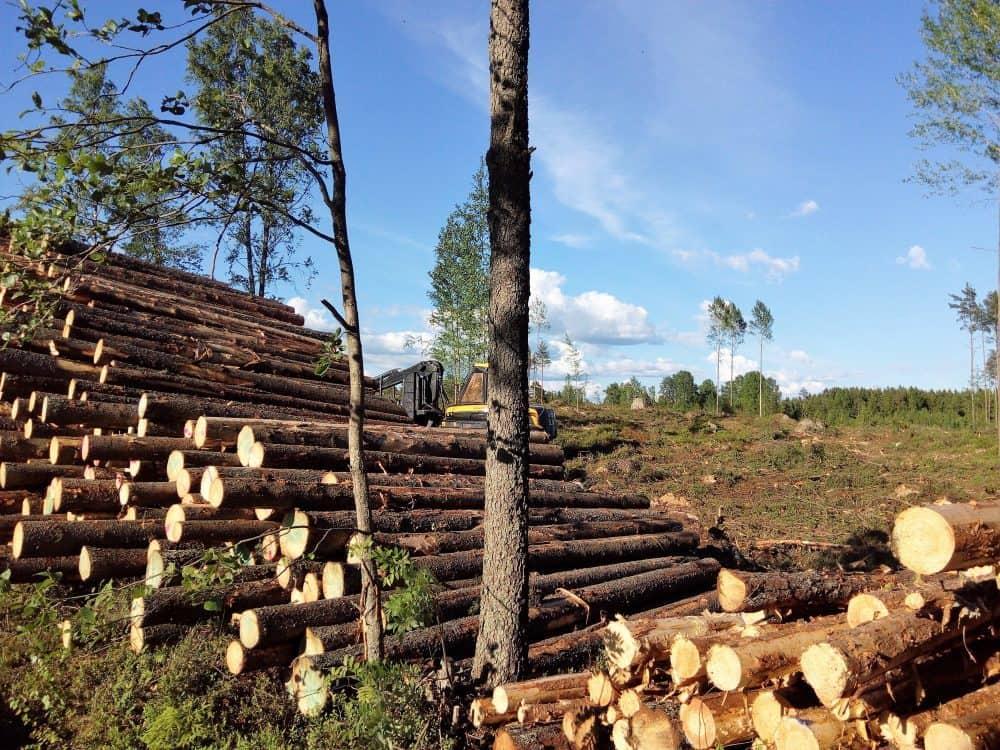 Metsä pinossa Pistoolikiventien varrella.