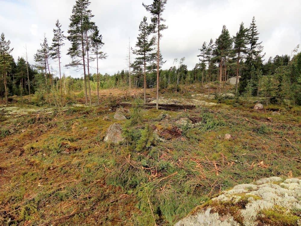 Metsää Simonmäellä metsäkoneen jäljiltä.