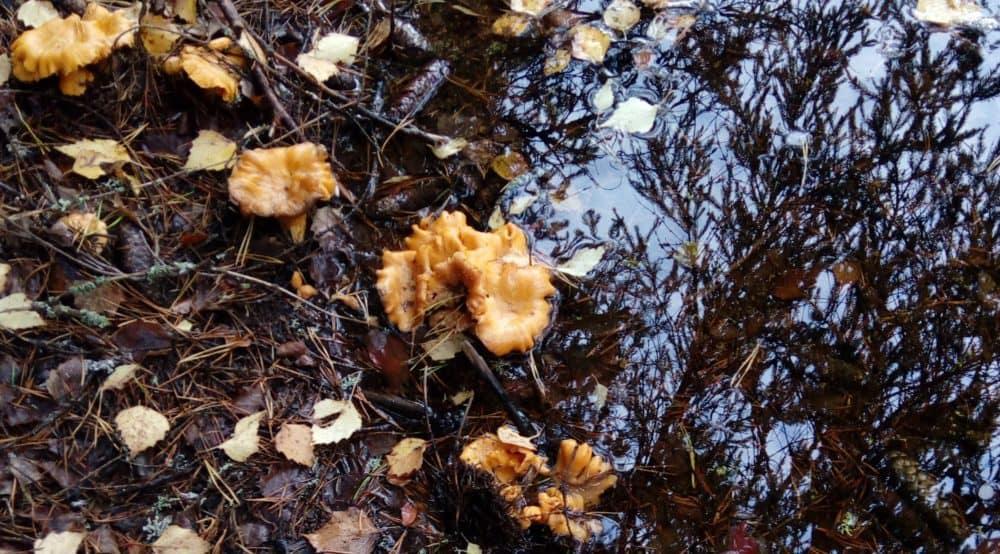 Kanttarellit vedessä. Osa sienistä uponnut kokonaan.